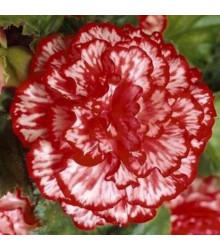 Begonie plnokvětá Marmorata - Begonia Tuberhybrida Marmorata - cibule begónií - 2 ks
