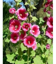 Topolovka plnokvětá- Alcea rosea- semena Topolovky- 40 ks