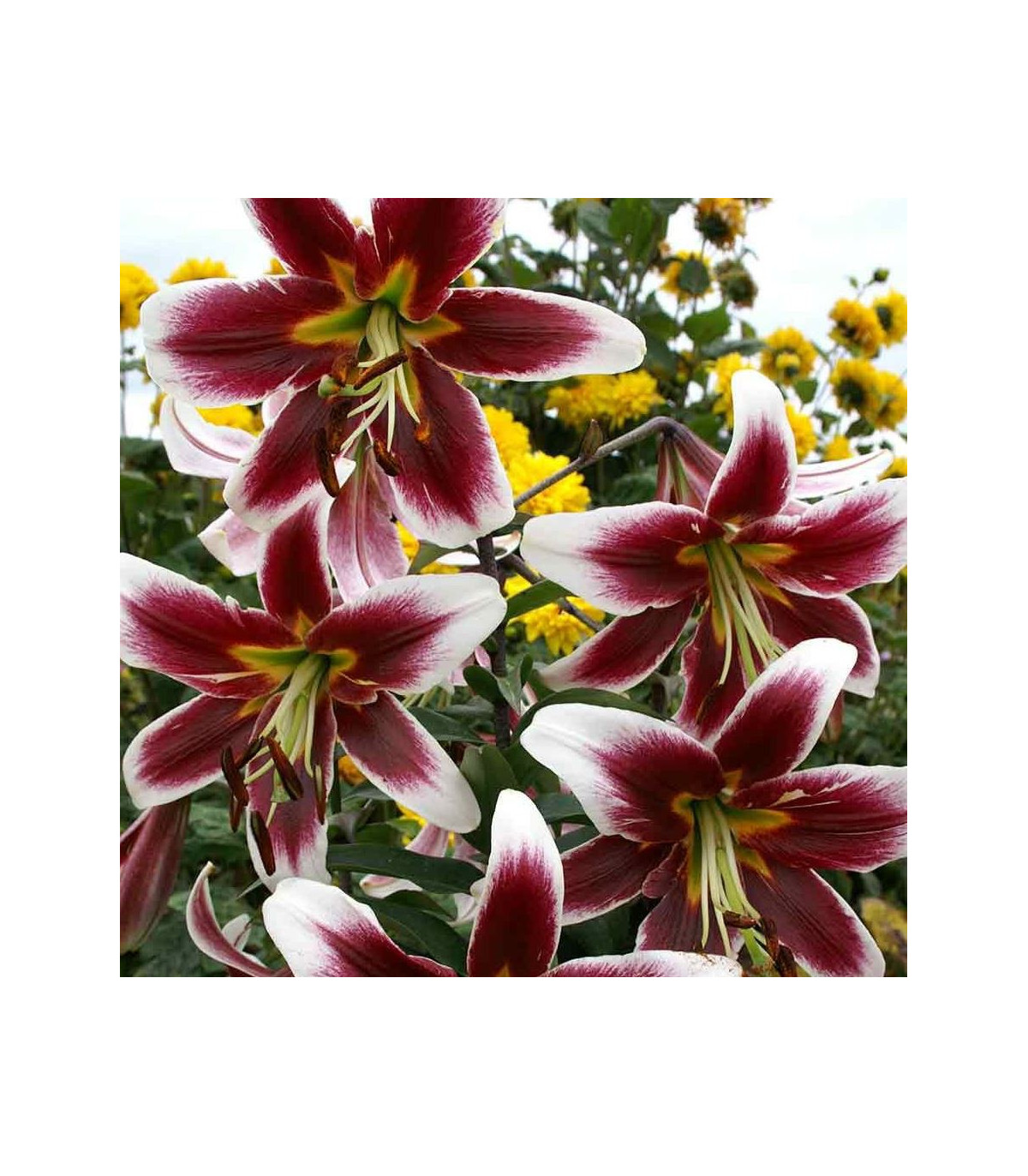 Lilie Ot Miss Lilly - obří lilie - holandské cibule lilií - 1 ks