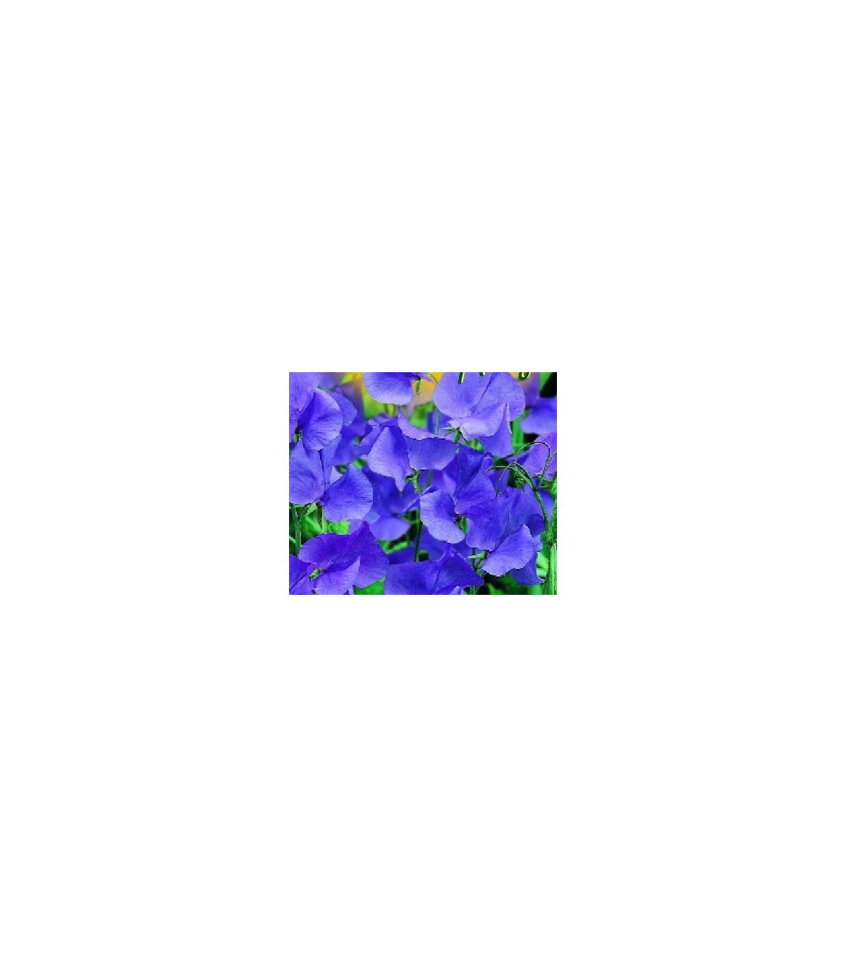 Hrachor pnoucí modrý- semena hrachoru- 20 ks