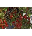 Rajče balkónové keříčkové - Balkonzauber - semena - 60 ks