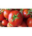 Rajče tyčkové Sláva Porýní - Lycopersicon lycopersicum - semena rajčat - 50 ks