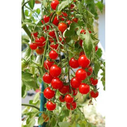 Rajče tyčkové koktejlové Bistro - prodej semen rajčat - 15 ks