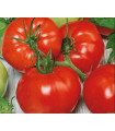 Rajče polní zakrslé Saint Pierre - prodej semen rajčat -15 ks