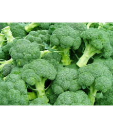 Brokolice Leonora - Brassica oleracea - semena brokolice- 100 ks