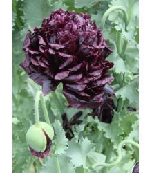 Mák Black Peony - Papaver somniferum - prodej semen - 150 ks