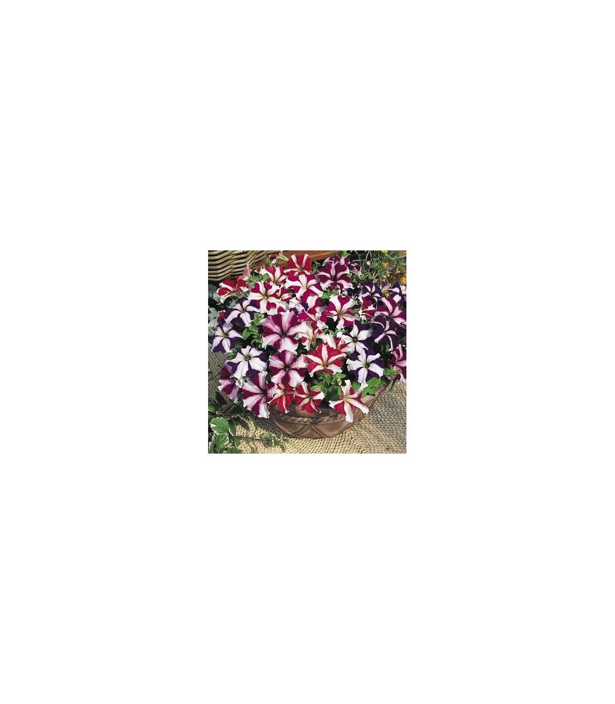 Petúnie nízká Stars mix - Petunia nana compacta - osivo petúnie - 20 ks