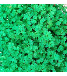 Kerblík setý Fijne Krul - Anthriscus cerefolium crispum - semena kerblíku - 0,8 gr