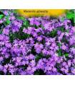 Pomněnka alpinská- Myosotis alpestris- semena Pomněnky- 0,1 g