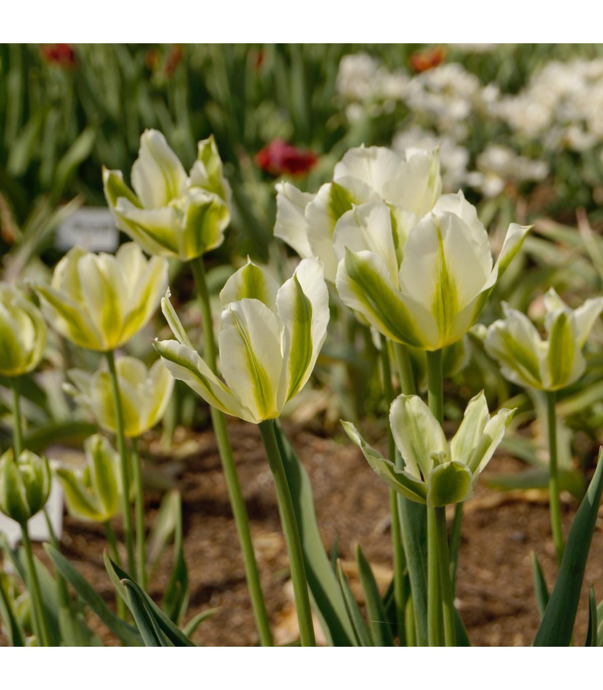 Tulipán Spring Green - Tulipa - cibule tulipánů - 3 ks