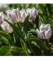 Tulipán Flaming Flag - prodej tulipánů - cibuloviny - 3 ks