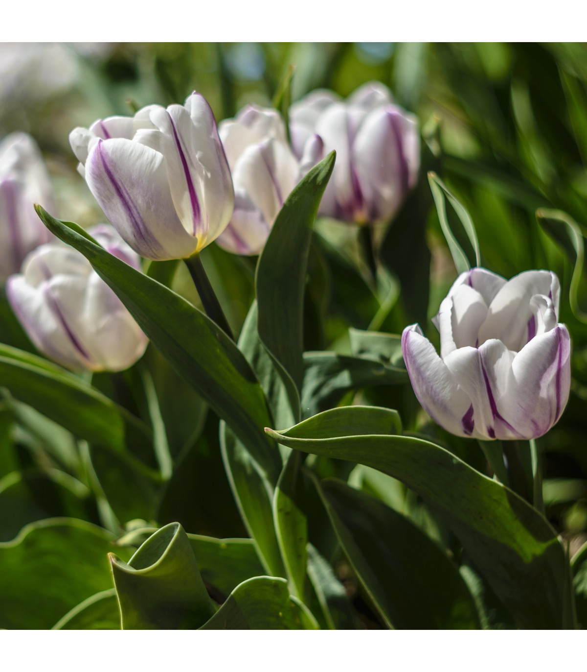 Tulipán Flaming Flag - Tulipa - cibule tulipánů - 3 ks