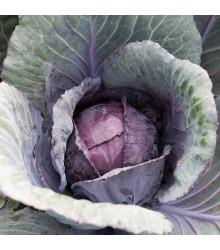 Zelí Pourovo červené - Brassica oleracea - osivo zelí - 200 ks