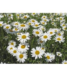 More about Kopretina bílá Královna - Chrysanthemum leucanthemum max.- prodej semen - 600 ks