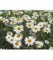 Kopretina bílá Královna - Chrysanthemum leucanthemum max.- prodej semen - 600 ks