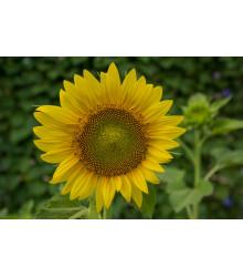 Slunečnice Topolino - Helianthus annuus - semínka Slunečnice koupit - 7 ks