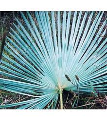 Palma stříbrná - Nannorrhops arabica - osivo palmy - 3 ks