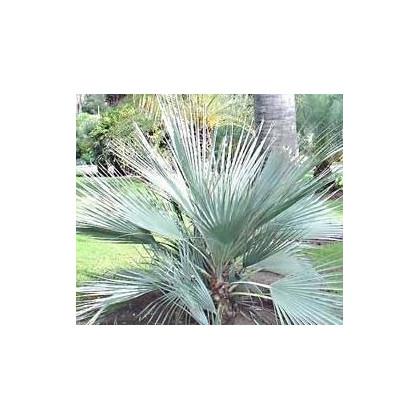 Palma stříbrná- Nannorrhops arabica- semena palmy- 3 ks