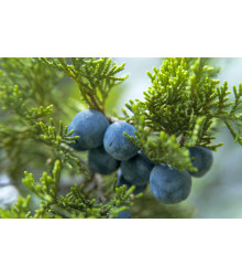 More about Jalovec - Juniperus excelsa - semena - 5 ks