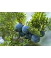 Jalovec- Juniperus excelsa-semena- 5 ks