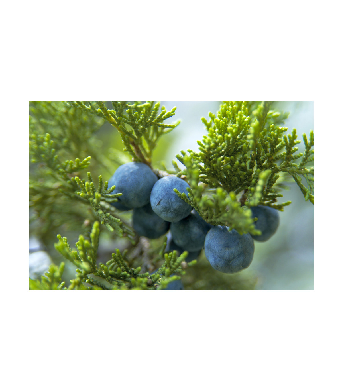 Jalovec - Juniperus excelsa - osivo jalovce - 5 ks