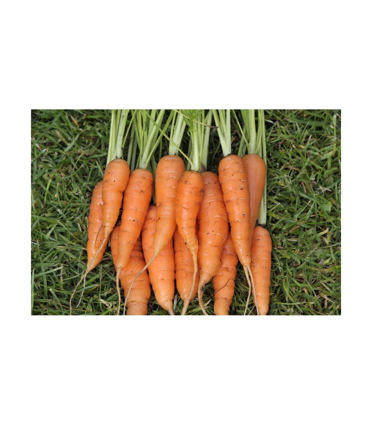 Mrkev karotka Amsterdam raná - Daucus carota - osivo mrkve - 1 gr