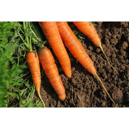 Mrkev F1 Ingot - Daucus carota - osivo mrkve - 1 gr