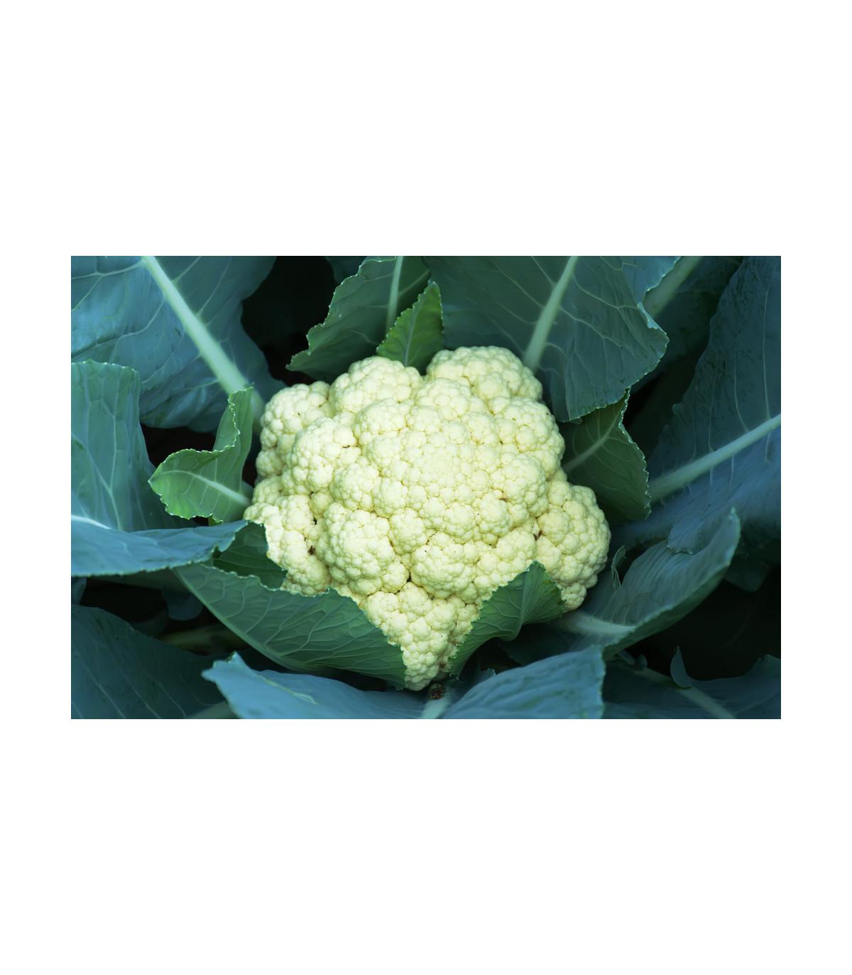 Květák pozdní Romanesco - Brassica oleracea botrytis - semena květáku - 20 ks