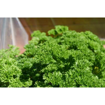 Petržel Bravour - Petroselinum crispum - semena petržele - 1 g