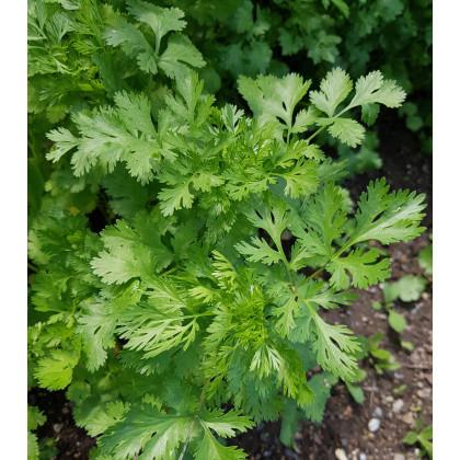 Koriandr setý Leisure - Coriandrum sativum - semena koriandru - 100 ks