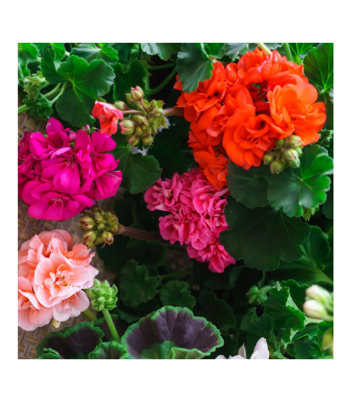 Muškát Paintbox směs barev - prodej semen muškátů - Pelargonium hybrids - 8 ks