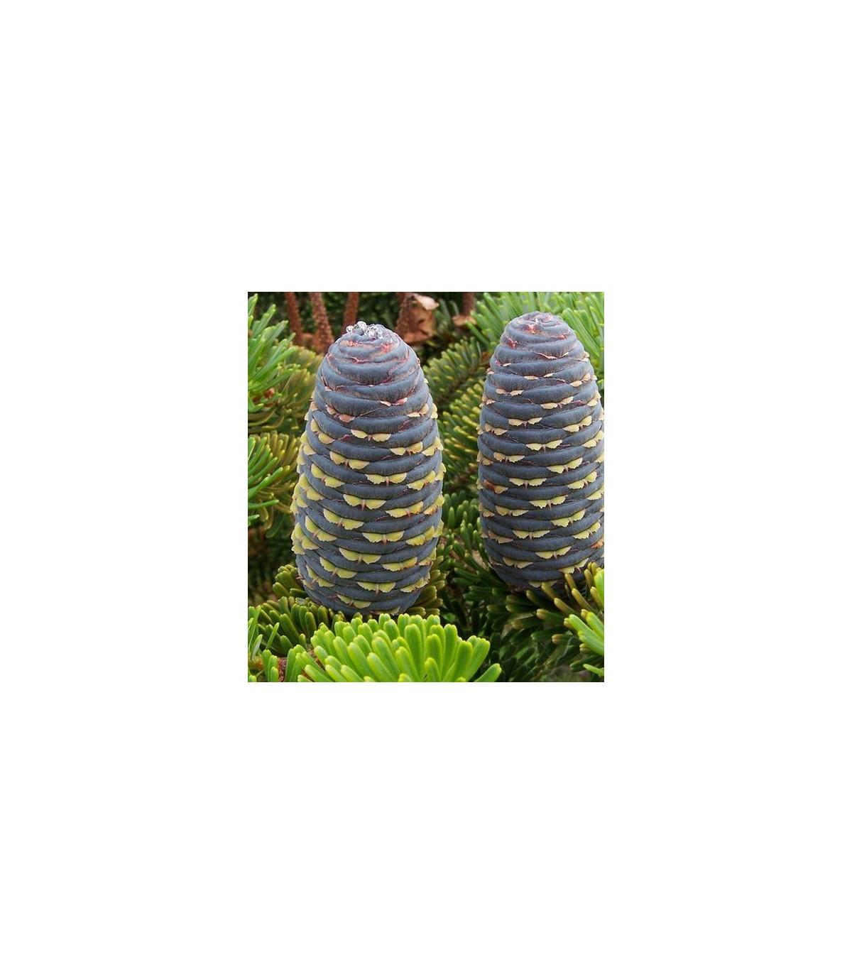 Jedle Faberova- Abies fabri- semena jedle- 7 ks