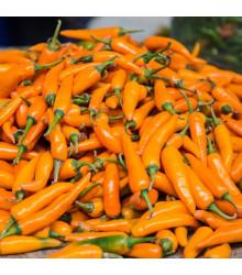 Chilli Bulharská mrkev - Capsicum annuum - semena chilli - 6 ks