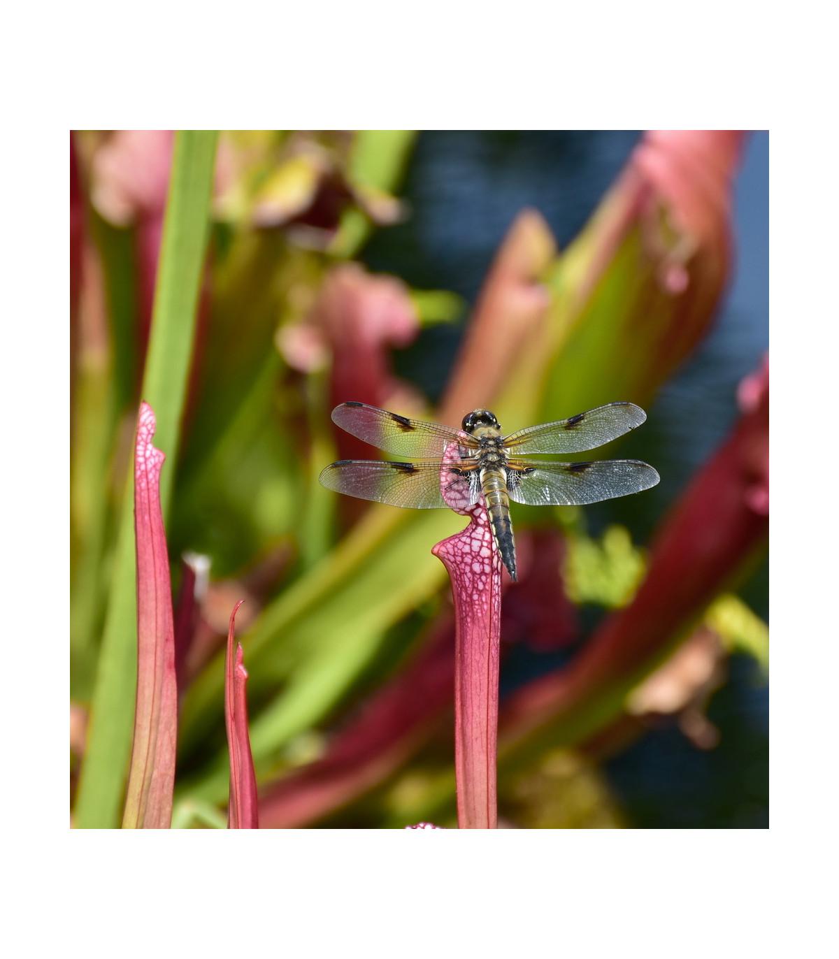 Špirlice přivřená - masožravka Sarracenia minor - prodej semen špirlice - 12 ks