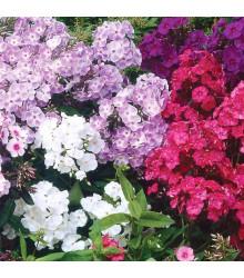 Plaménka latnatá - směs barev - Phlox paniculata grandiflora - semena Plaménky - 15 ks