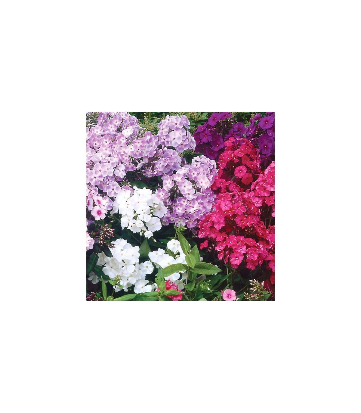 Plaménka latnatá - směs barev  - Phlox paniculata grandiflora - osivo plaménky - 15 ks