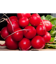 Ředkvička Raxe - prodej semen ředkvičky - 0,5 gr