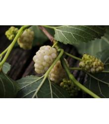 More about Morušovník bílý - prodej semen - rostlina Morus alba - 5 ks
