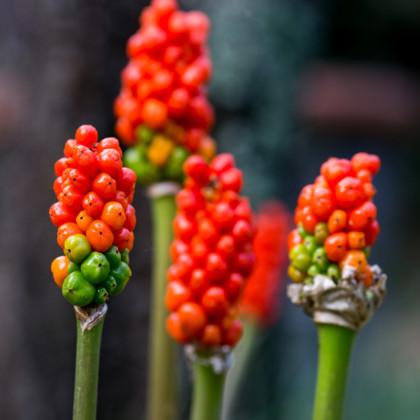 Áron červený - Arum italicum - cibule áronu - 2 ks