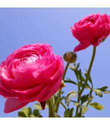 Pryskyřník růžový - Ranunculus asiaticus - hlízy pryskyřníku - 3 ks