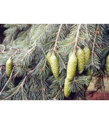 Smrk himalájský - Picea smithiana - semena smrku - 8 ks