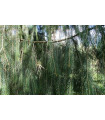 Smrk himalájský- Picea smithiana- semena smrku- 8 ks