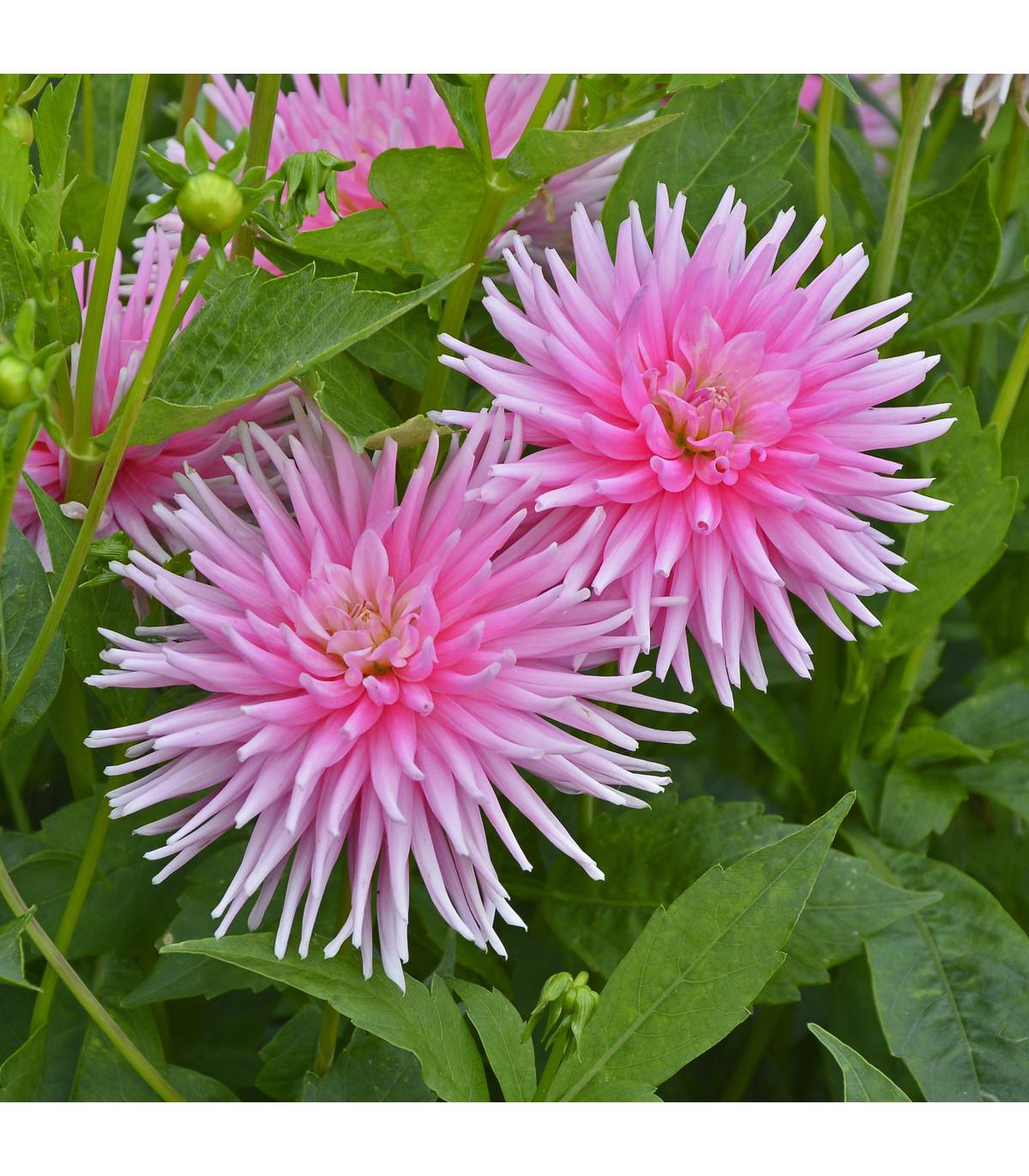 Jiřinka Princess - kaktusovité jiřinky - holandské cibuloviny - Dahlie - 1 ks