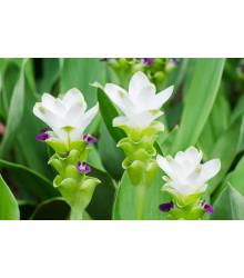 Kurkuma bílá - Curcuma alismatifolia - cibule kurkumy - 1 ks