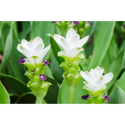 Kurkuma bílá - Curcuma alismatifolia - hlízy kurkumy - 1 ks