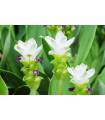 Kurkuma bílá - Curcuma alismatifolia - prodej kořene kurkumy - 1 ks