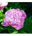 Pivoňka růžová - Paeonia tenuifolia - cibulky pivoněk - 1 ks