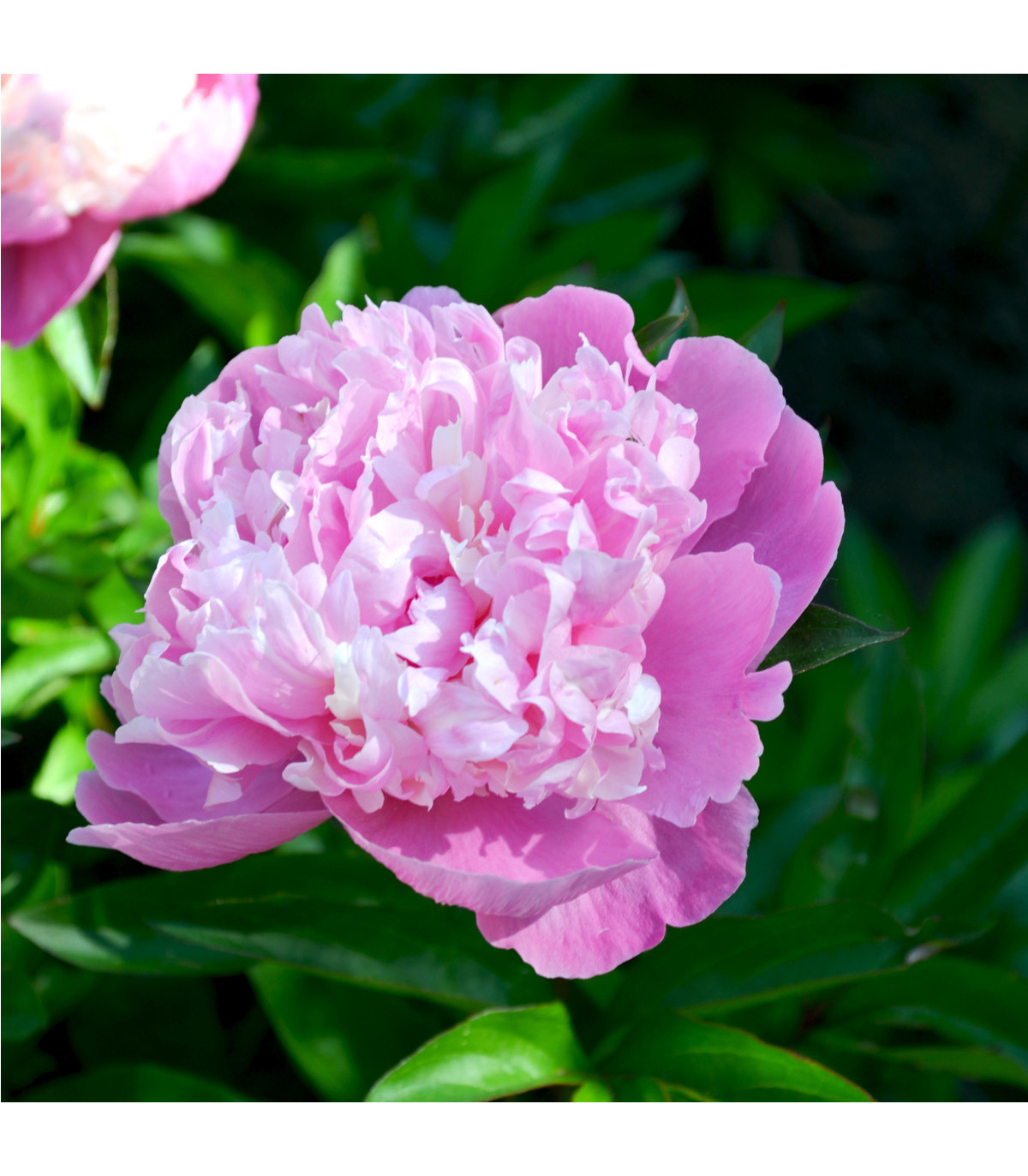 Pivoňka růžová Dr. Alex Flamming - Paeonia lactiflora - hlízy pivoněk - 1 ks