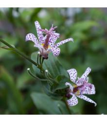 Lilie hadí - Tricytris hirta - jarní cibuloviny - 1 ks