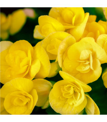 Drobnokvětá begonie žlutá - Begonia multiflora maxima - cibule begónií - 2 ks